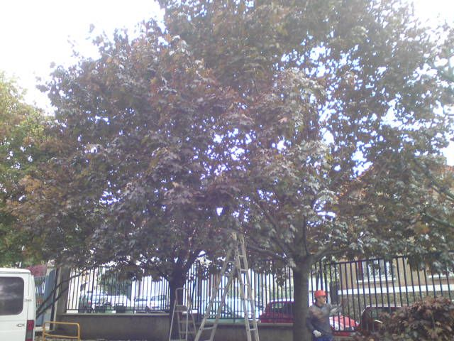 Elagage des arbres, avant