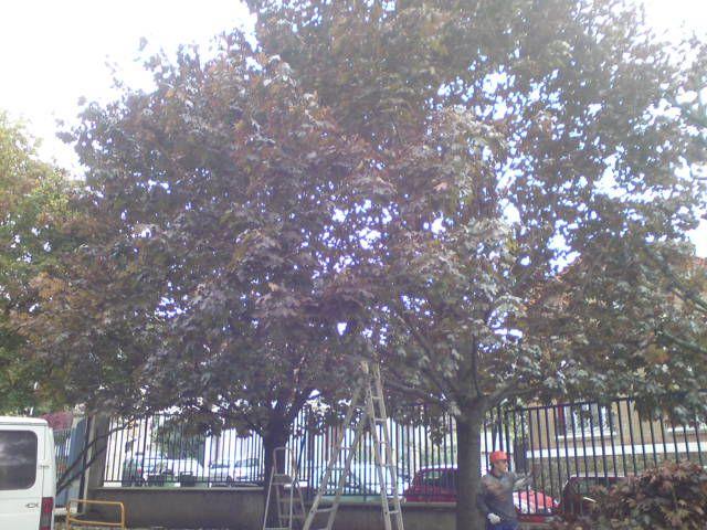 Elagage des arbres 94, avant