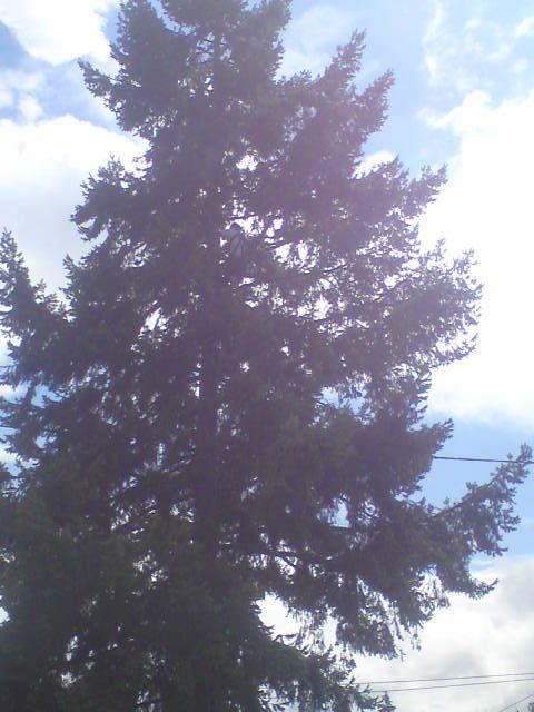 Etêtage arbre, avant