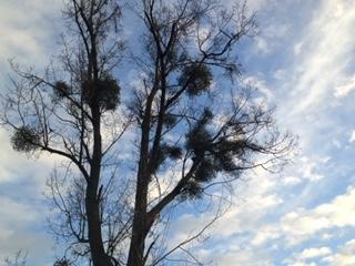 élagage arbre 60 (Oise) Thourotte